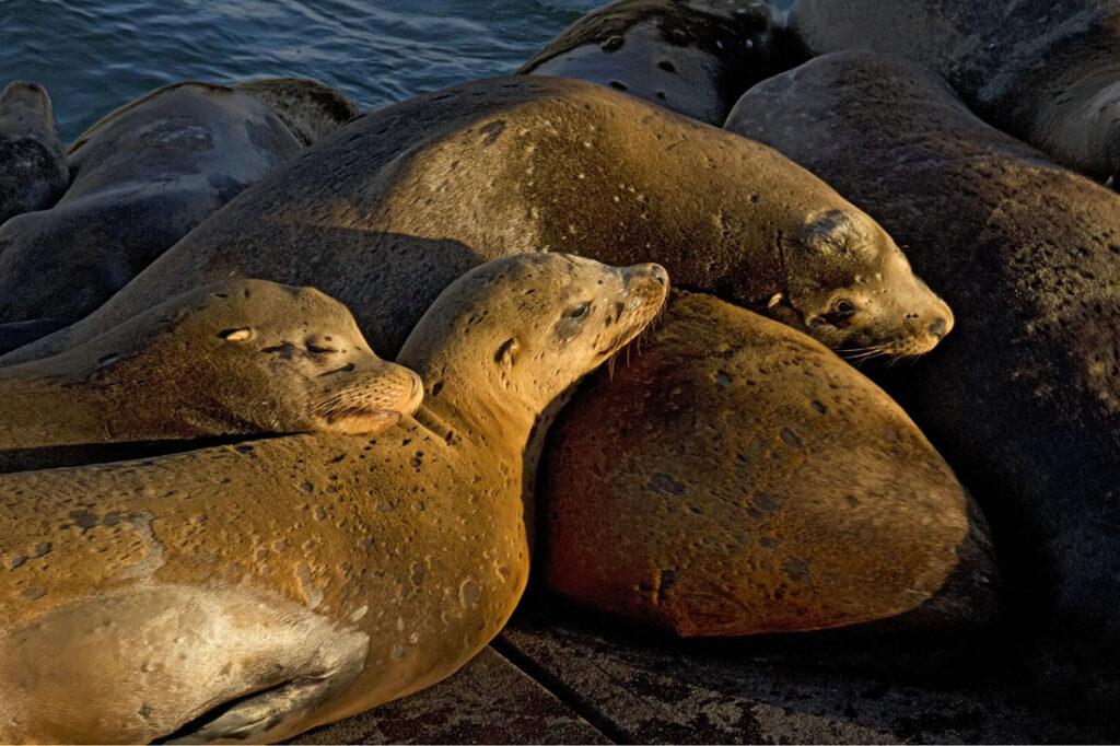 Sleepy Sea Lions