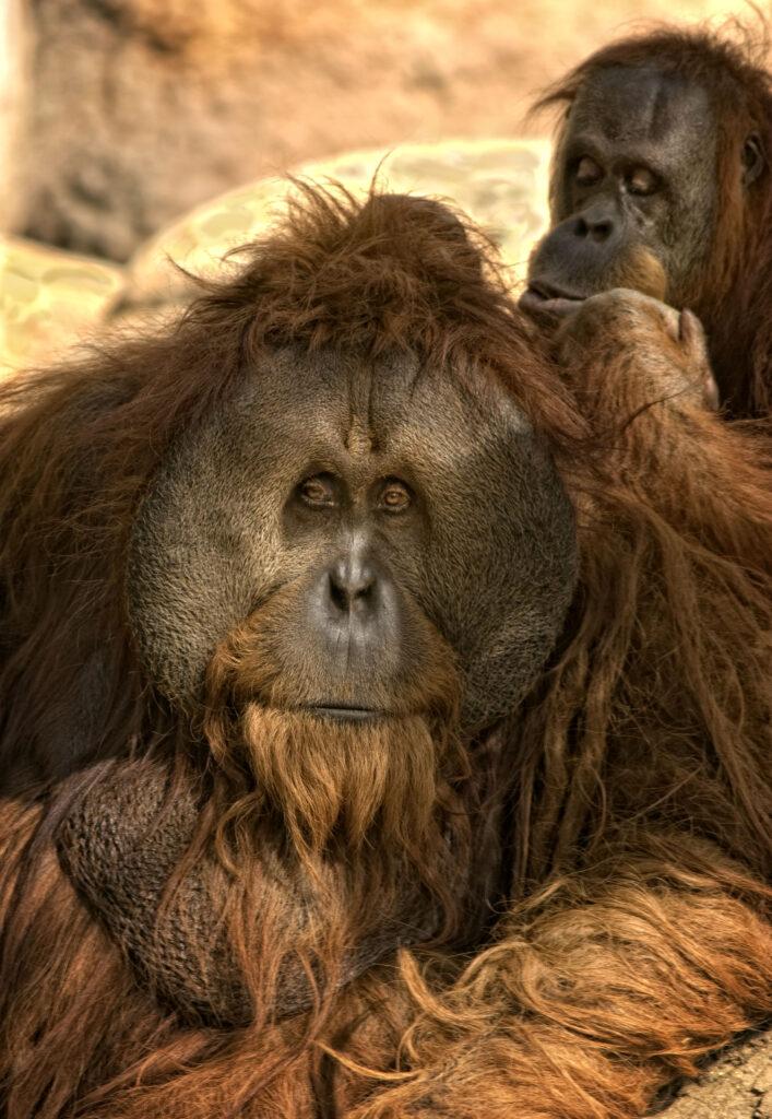 Sumatran Orangutan Male Being Groomed