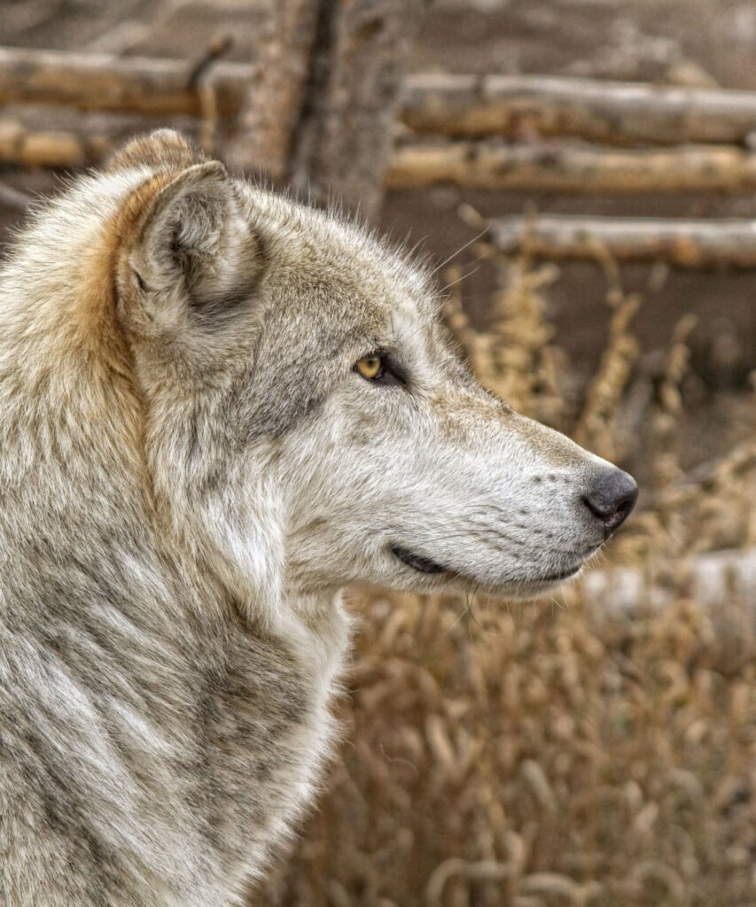 Timber Wolf Profile