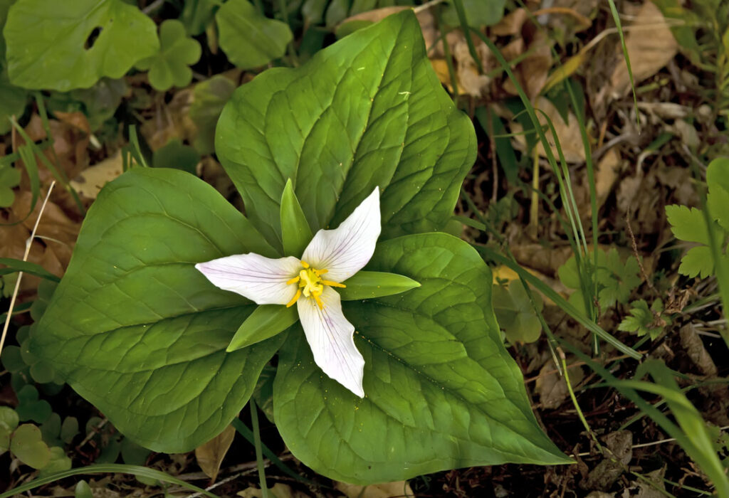 Klamath Trillium