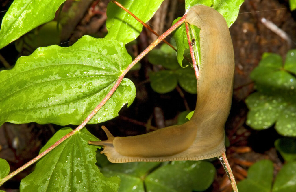 California Banana Slug