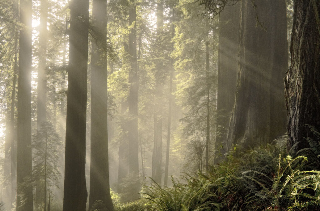 Misty Redwoods