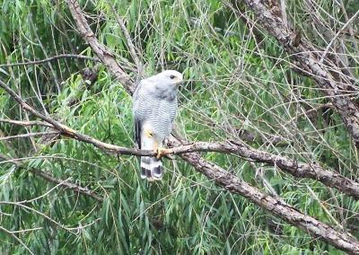 Gray Hawk in Tree