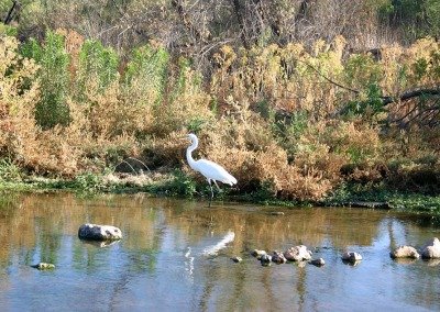 Great Egret in the River