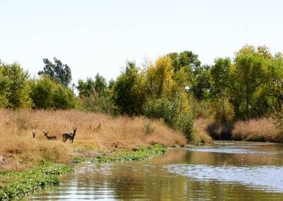 Mule Deer at River's Edge