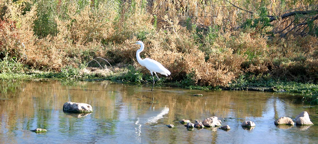 Great Egret on Santa Cruz River