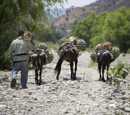 bringing in agave espadín from up in the mountains