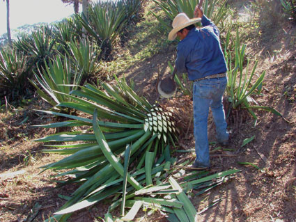 Santiago Diaz Ramos trimming a piñaming