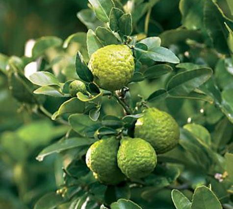 Citrus Hystrix.  Malaysian limes, limau purut