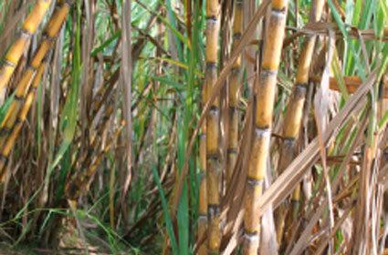 mature-sugar-cane