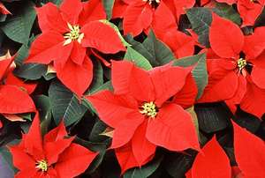 How Will You Celebrate National Poinsettia Day?
