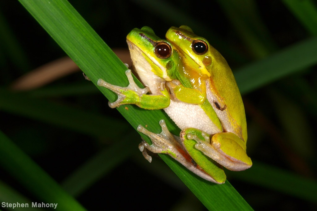 FAUNA Research Alliance scientists produce frogs from frozen sperm