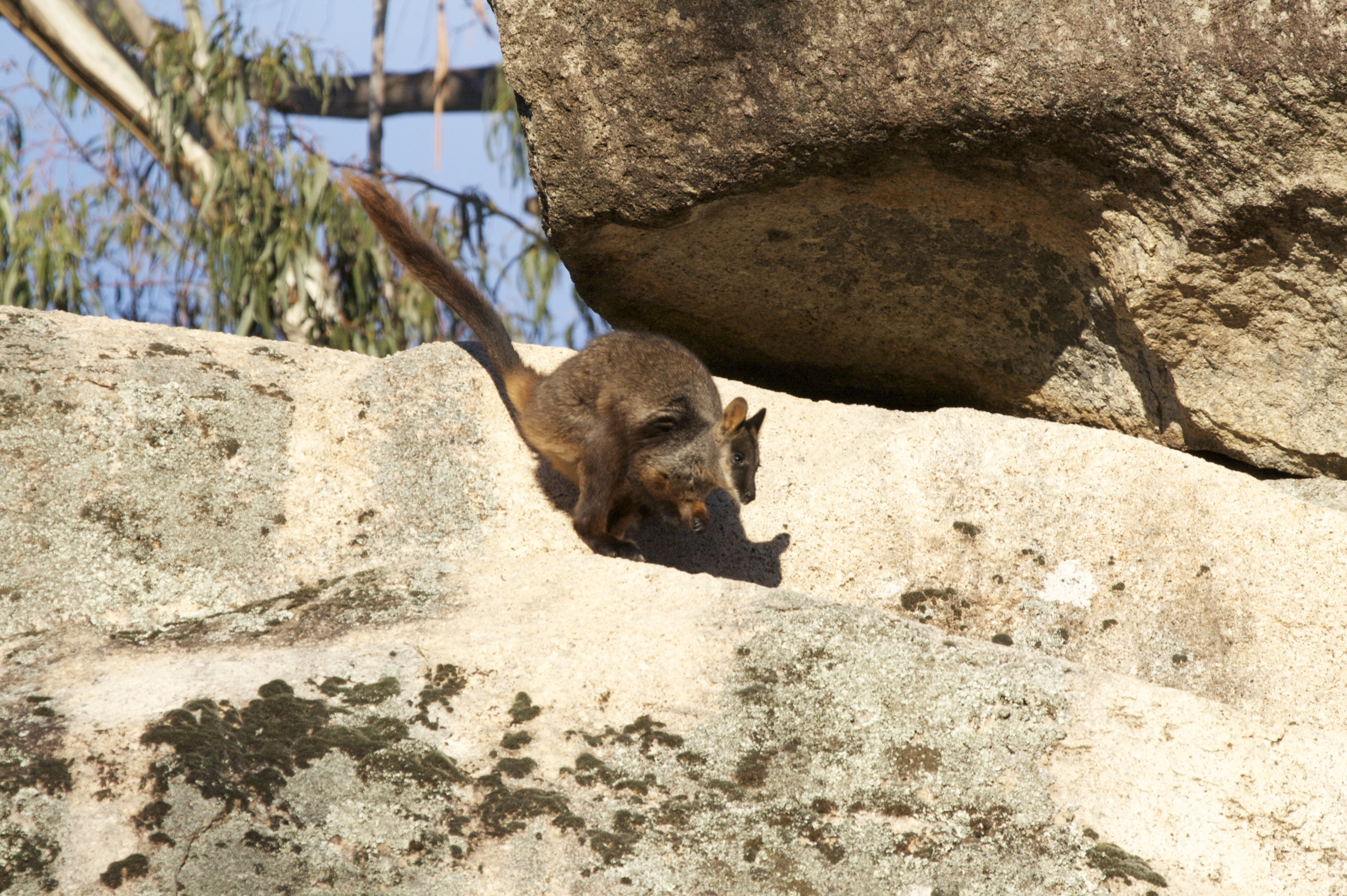 FAUNA/WWF collaboration aims to bring Rock Wallaby back to ACT