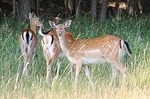 Deer Accidents Rise Over Next Three Months