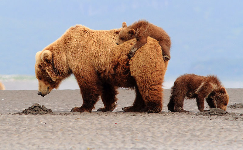 Alaskan Grizzlies. Credit: Brad Josephs/Supplied
