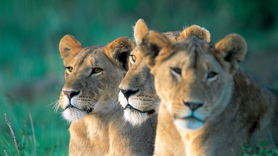 A trio of lionesses. Supplied.