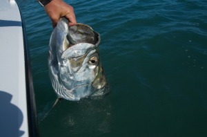 Tarpon release in the Spring time Key West