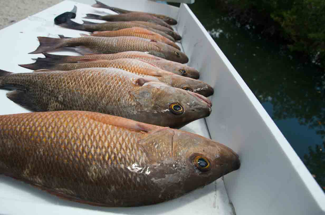 Mangrove snapper ready to be cut up!
