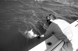 A permit caught in the Marquesas Keys