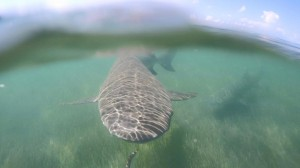 Underwater lemon shark off Key West.