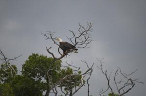 Bald eagle near Key West