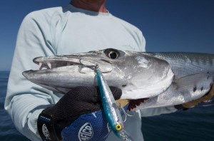 Barracuda caught in the Marquesas Keys
