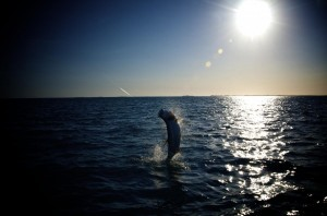 Tarpon jumping out of the water while fishing near Key West