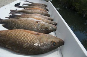 Mangrove snapper ready to eat
