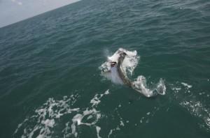Tarpon Jump in Key West