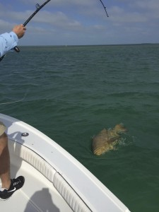 Goliath grouper pulled from a shallow wreck