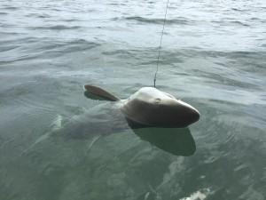 Key West sharks