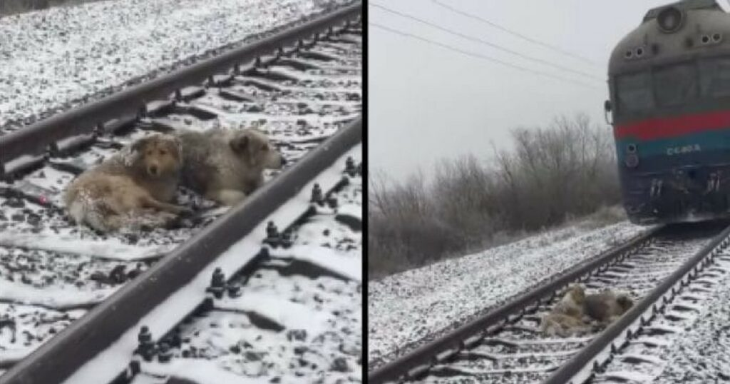 Terrified Dog Stuck On Tracks. Watch What Heroic Brother Does When Train Rushes Toward Her 1