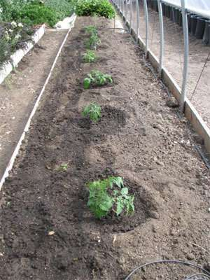 How to Correctly Plant Tomatoes to Get 5–8ft Plants 10