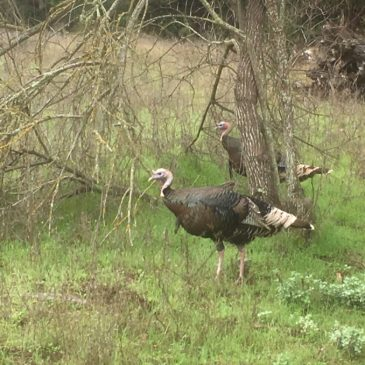 Truffled Wild Turkey-Anyone?