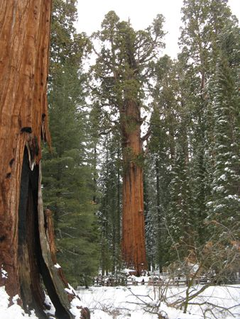 General Sherman Monarch Sequoia at Sequoia National Park
