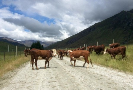 There are also cows in New Zealand.