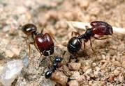 مكافحة النمل في المنزل