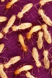 مكافحة النمل الابيض الارضة