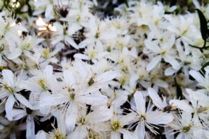 fall clematis