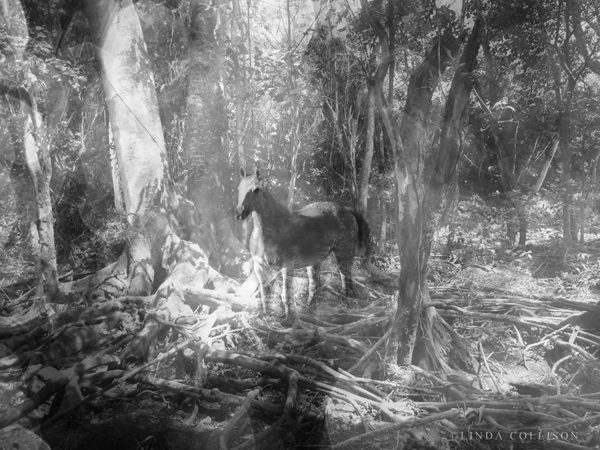 KAUAI Horses11bw