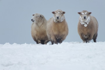 Romney Sheep in the Snow