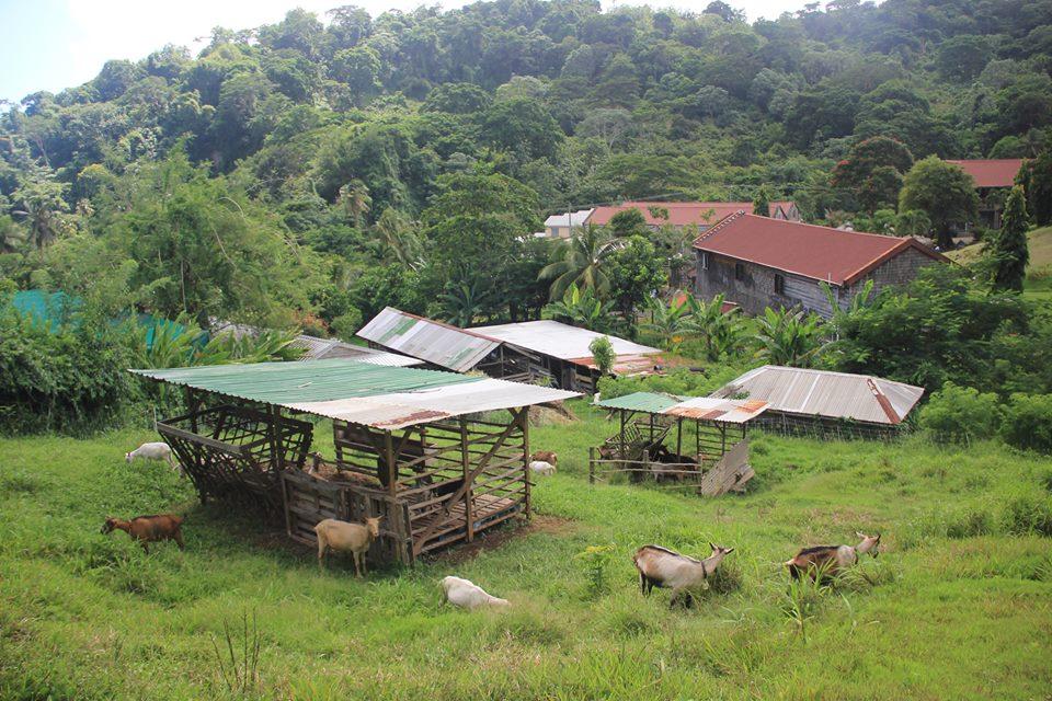 Dairy goats grazing pasture