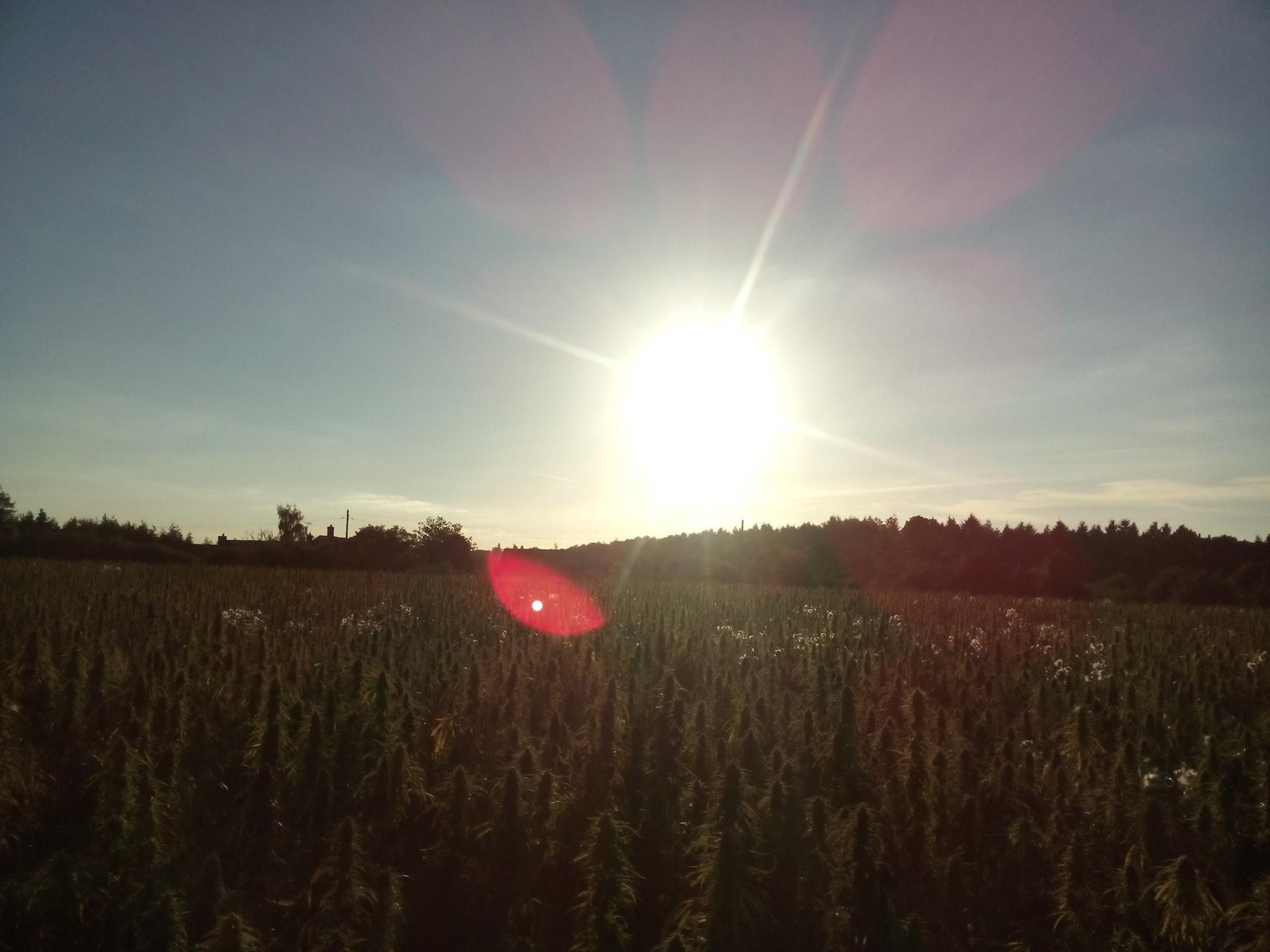Hempen_field