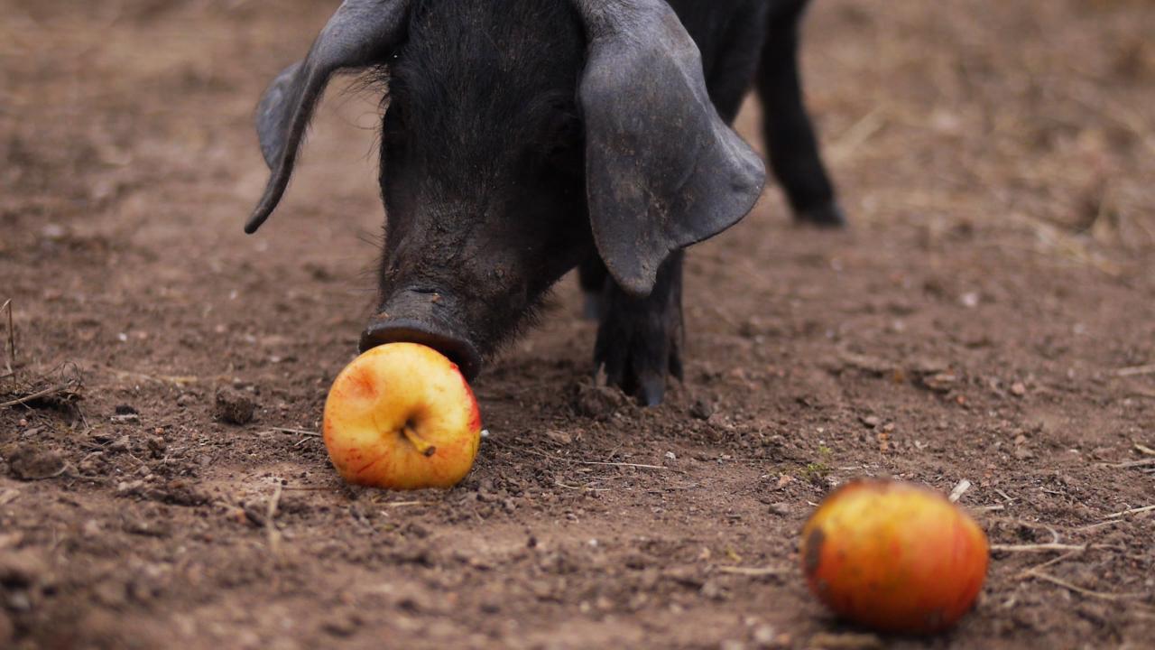 Sacred_Earth_piglet-apple