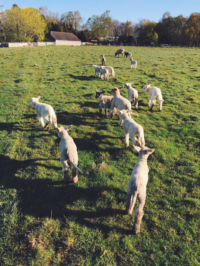 The lamb train