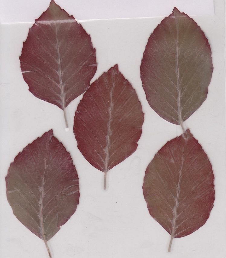 COPP Beech Leaves