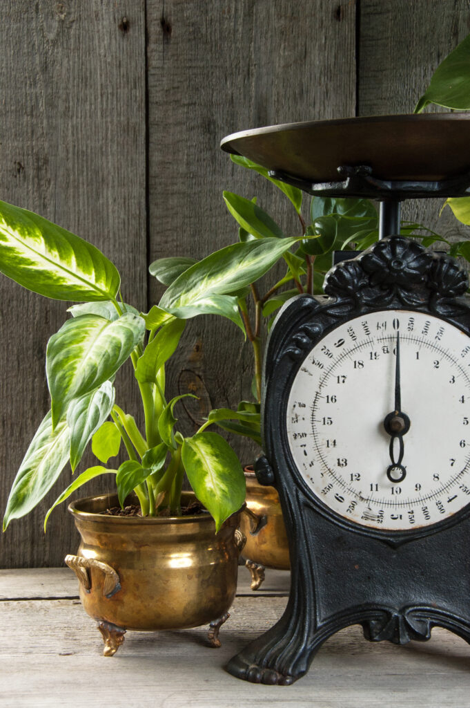 Old vintage kitchen scale on wooden gray background. Green plants and copy space for text.