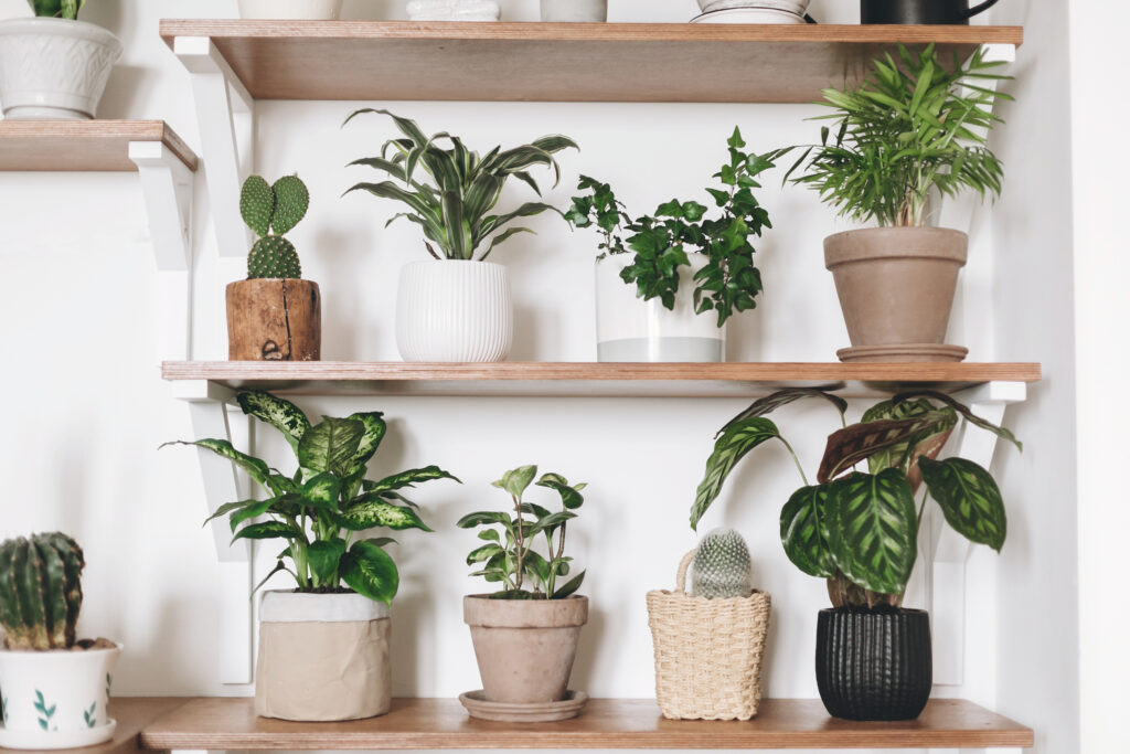 Stylish wooden shelves with green plants and black watering can. Modern hipster room decor. Cactus, calathea, peperomia,dumbcane, dracaena, ivy, palm, sansevieria in pots on shelf.