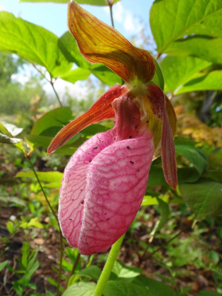 Pink Ladyslipper