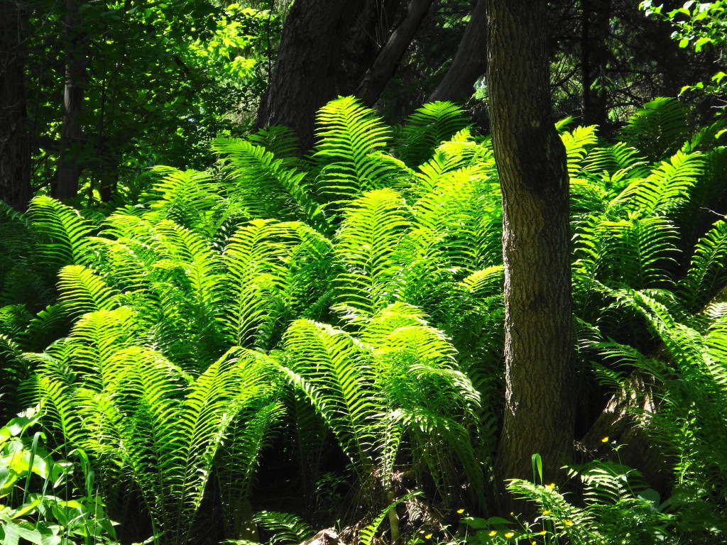 A dense patch of Ostrick Fern glows in a beam of sunlight that has penetrated the dark swamp along Cody Creek.